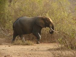 ghana_olifant