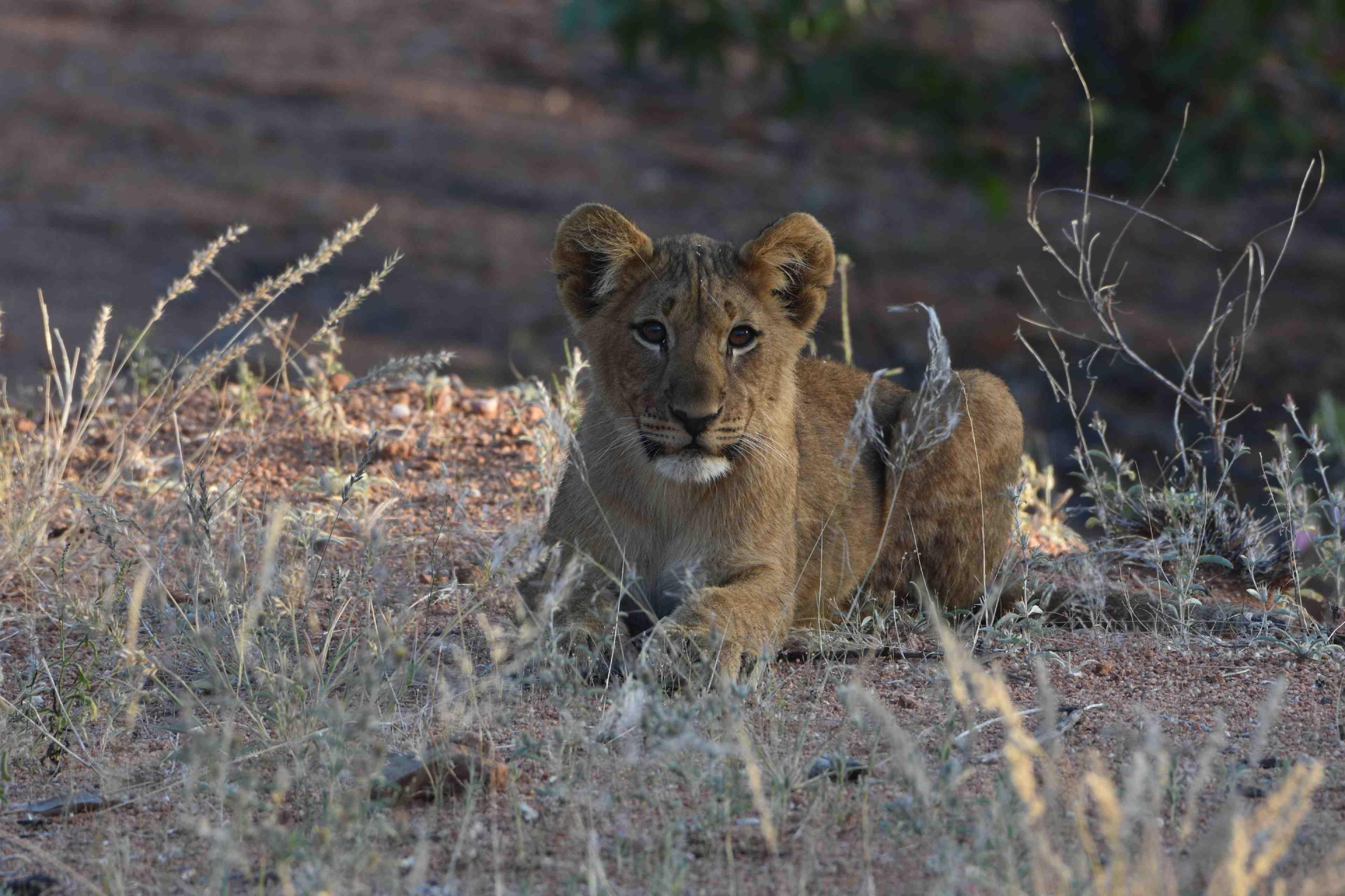 Leeuwen welp bij Hobatere lodge