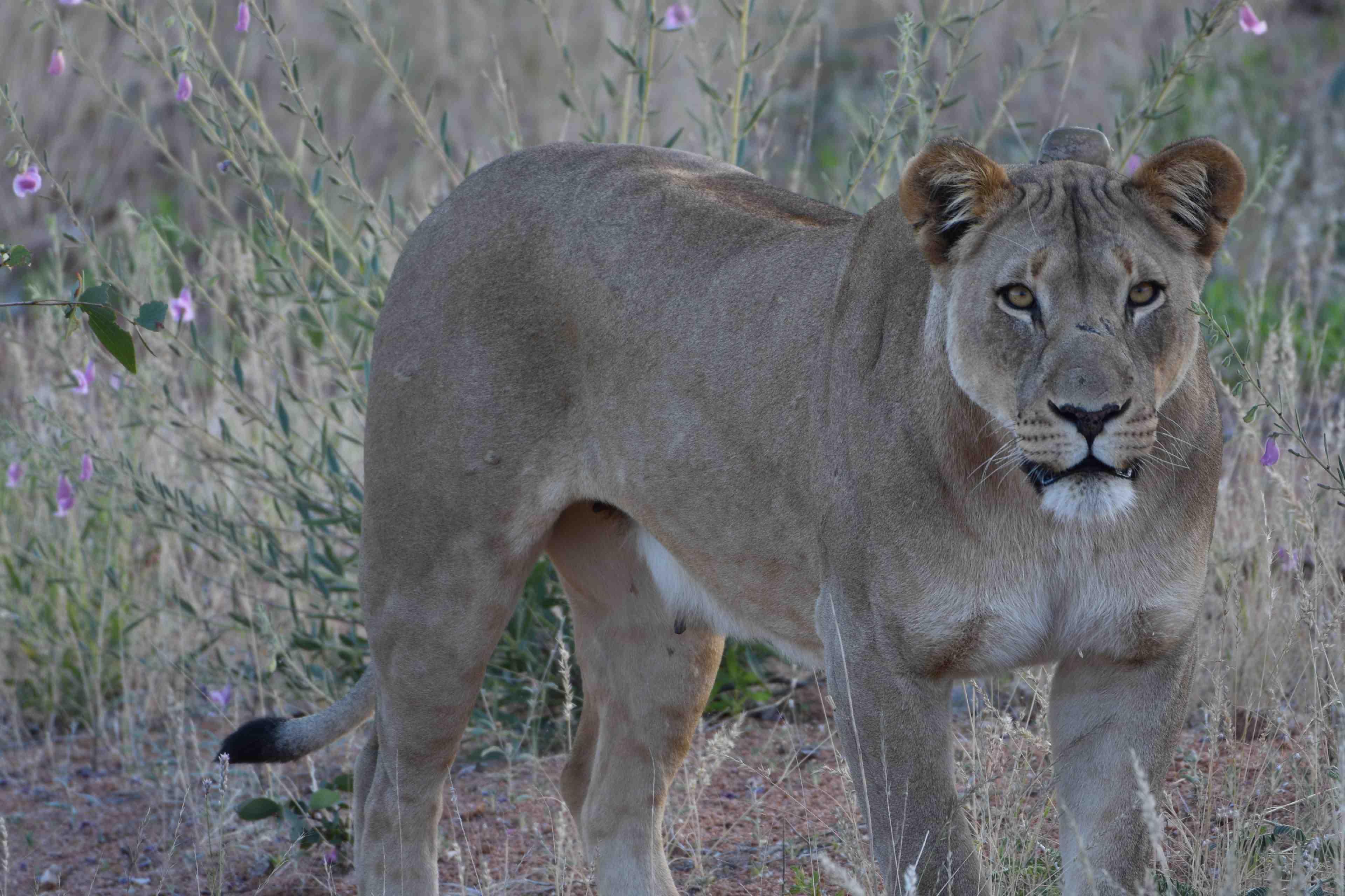 Leeuwin bij Hobatere lodge
