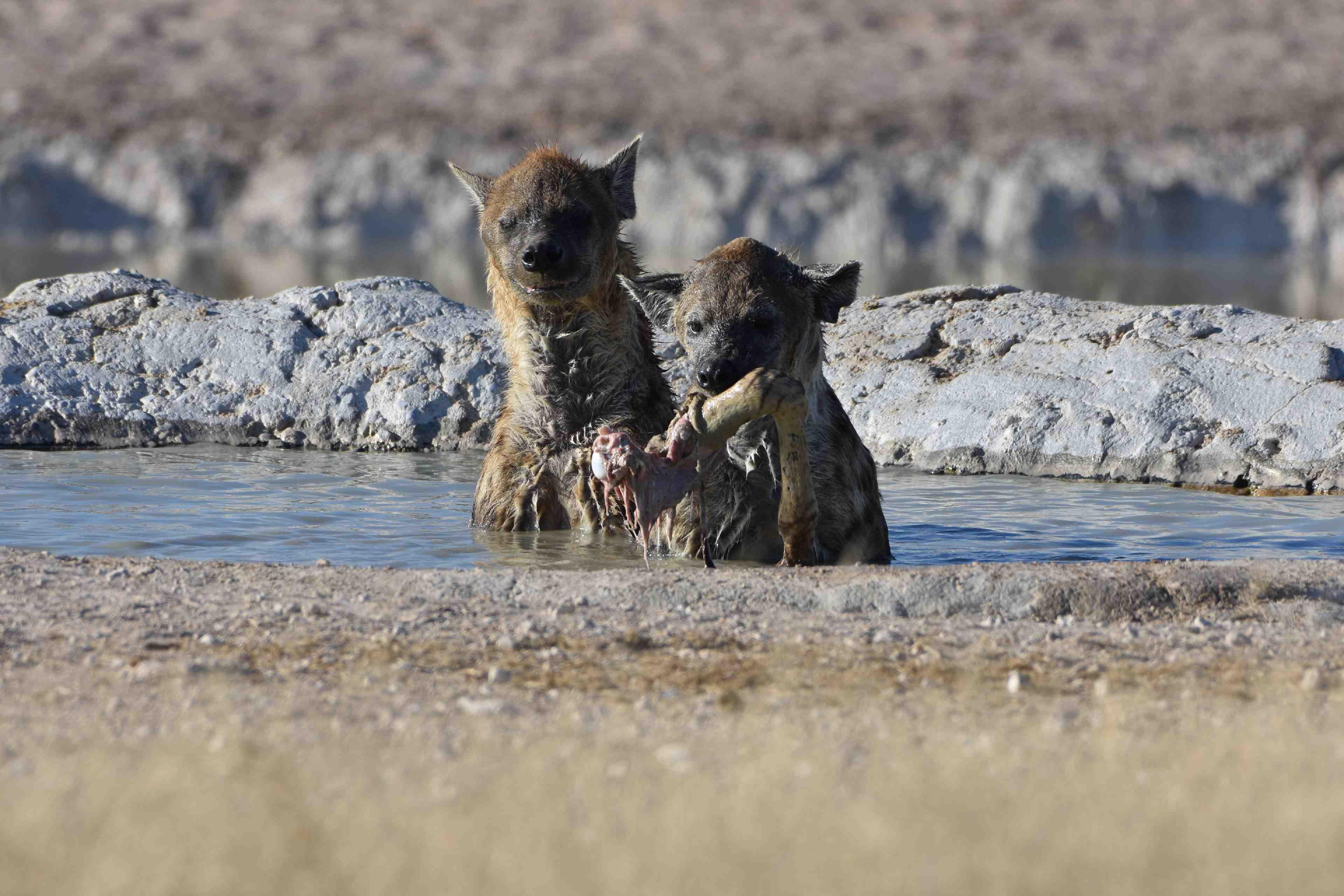 Gevlekte hyena's met bot
