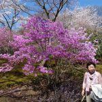 Kersenbloesem in Kyoto