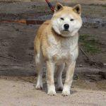 Akita (Japanse husky)