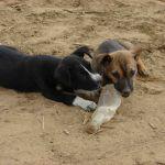 Spelende hondjes