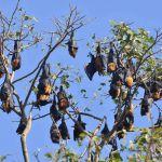 Vliegende honden in Sittwe