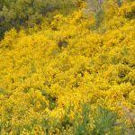 Gele brem in Bariloche