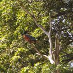 Ijsvogel gespot vlakbij Pucón