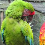 Macaw bird center in Copan