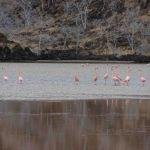 Galapagos flamingo's