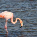 Galapagos flamingo