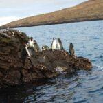 Pinguins op Galapagos