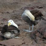 Parende galapagos albatros