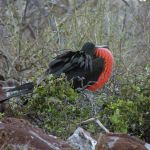 Galapagos Great Frigate Bird