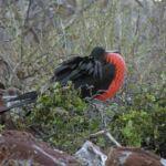 Galapagos Great Frigate Bird