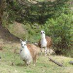 Lama's in Saquisili