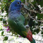 Papagaai in Baños