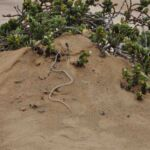Zandrenslang - Namib sand snake - Little 5 desert tour