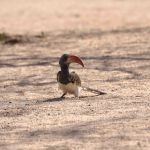 Roodsnaveltok / red billed hornbill